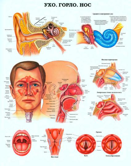 Система ухо, горло, нос