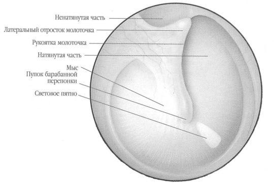 Перепонка отделяет внутреннее ухо от наружного
