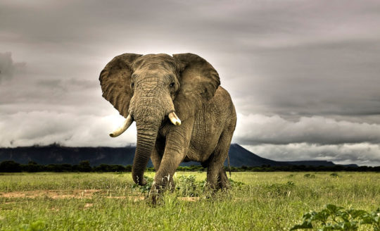 У слонов уши служат и для терморегуляции