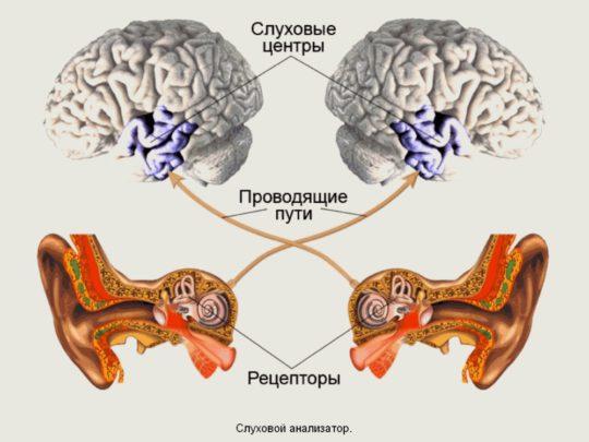 Принцип работы слухового анализатора