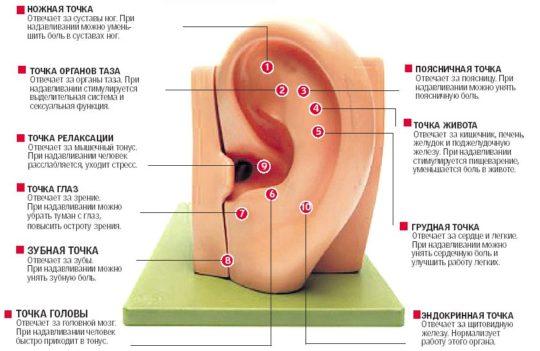 Большее значение имеет мочка уха в учении акупунктуры