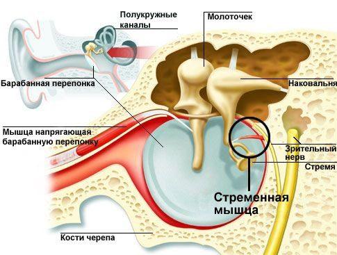 Расположение стременной мышцы