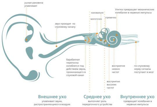 Схема строения уха