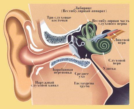 Строение уха и расположение слуховой трубы