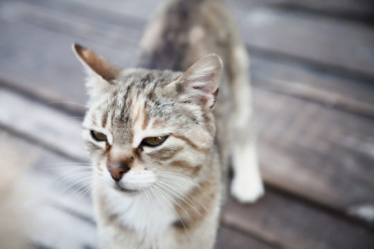У кошек противокозелок выражен отчетливо