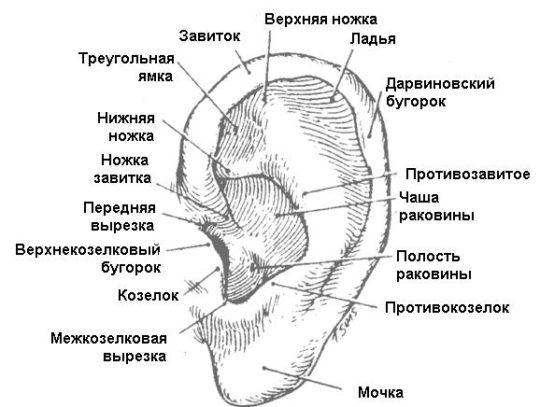 Строение ушной раковины и месторасположение козелка